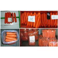 Quality Nutritional Value Organic Carrot Fresh Containing Beta-Carotene , Dietary Fiber Fresh Vegetable, Flesh thick for sale