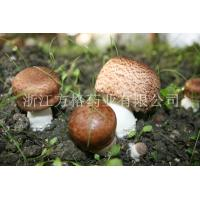 Buy cheap Agaricus blazei extract 20%-40%,edible and medicinal mushroom,GMP/HACCPcertificate from Wholesalers