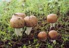 Buy cheap Agaricus Blazei Extract Capsule from Wholesalers