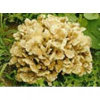 Buy cheap Maitake Polysaccharide from Wholesalers