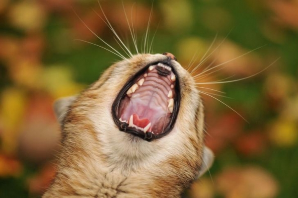 cute yawning kitten wallpaper for android, iphone