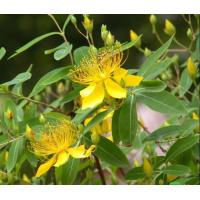 China St. Johns Wort Extract on sale
