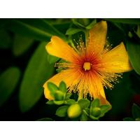 China plant extract St johns wort extract Hypericin on sale