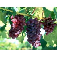 Buy cheap Grape Seed Extract, Grape Seed P.E. 95% UV Proanthocyanins(OPC) from wholesalers