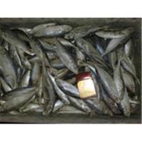 Buy cheap whole round BQF frozen fresh horse mackerel fish from Wholesalers