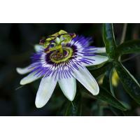 Buy cheap hotel bedspread organic passiflora caerulea extract free samples --Passiflora incarnata L. Flavones 3%(UV) from Wholesalers