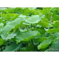 Buy cheap hotel bedspread Manufacturer Supply natural high quality lotus leaf extract, Nelumbo Nucifera Gaertn. -Folium Nelumbinis from Wholesalers