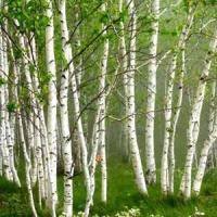 China Natural Herbal ingredient Betulin 80%, 90%, 98%HPLC, Betulinic acid, Birch Bark Extract on sale
