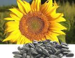 China Sunflower hybrids seeds of Novi Sad, Serbia, HC Fantasy HC Romeo, NS and Take other on sale