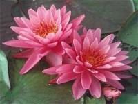 China Pink Sunrise Water Lily (Medium) on sale